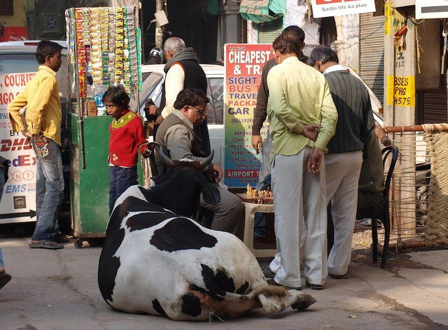 Vaca-india